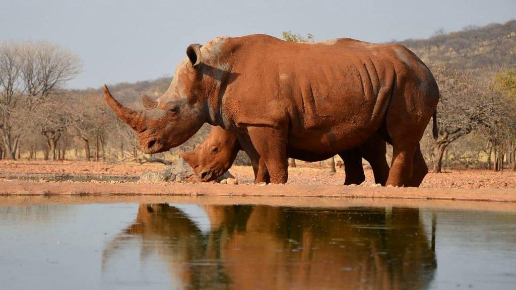 Носорог одиночка