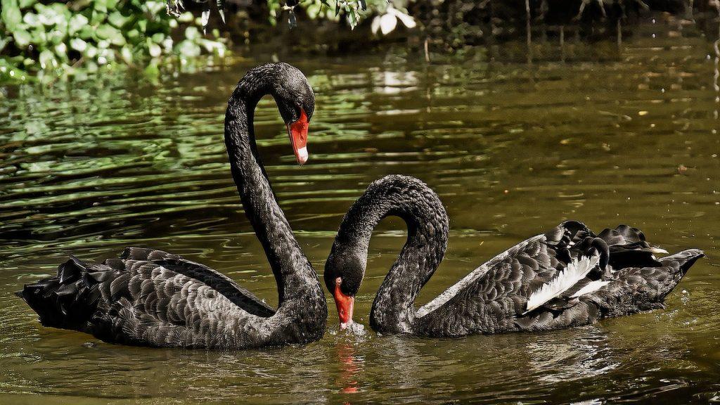 Поющие лебеди