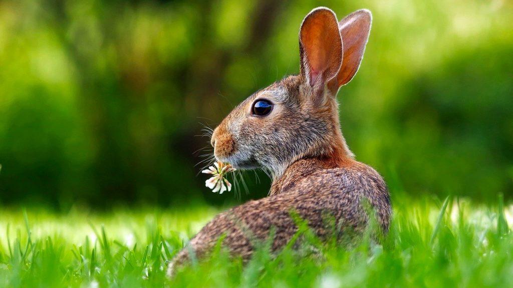 Заяц нарцисс