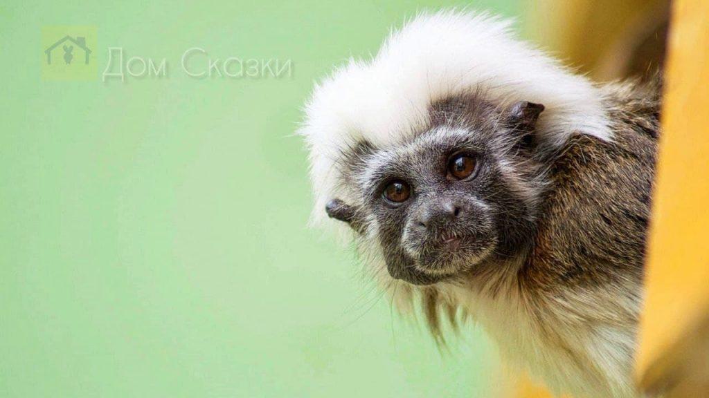 Самая маленькая обезьянка