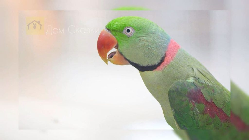 Попугай Кеша - гроза воров